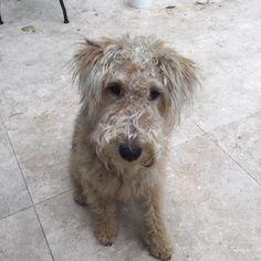 Ronnie Lakeland Terrier | Pawshake