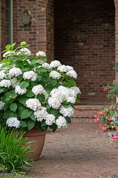 Untraditional Container Untraditional Container Plants Backyard Garden With Potted White Hydrangeas , Caring Tips For Potted Hydrangea Plants In Kitchen Category Garden Pots House Beautiful: Fresh and Traditional April 2016 Outdoor Plants, Potted Plants, Plants In Pots, Flowering Plants, Blushing Bride Hydrangea, Container Gardening, Gardening Tips, Organic Gardening, Vegetable Gardening