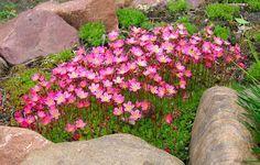 Камнеломка: уход и размножение (фото), выбираем семена и посадочный