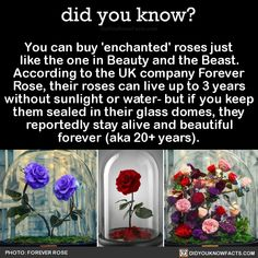 You can buy 'enchanted' roses just like the one in Beauty and the Beast. According to the UK company Forever Rose, their roses can live up to 3 years without sunlight or water- but if you keep them sealed in their glass domes, they reportedly stay...
