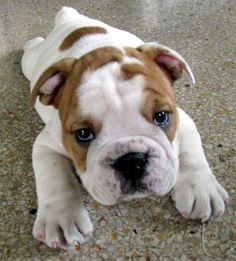 bulldog adorableness