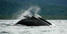 Conoce a colombia deste este post Colombia Travel, Plans, Whale, Tourism, National Parks, Landscapes, Bahia, Whale Watching, Humpback Whale