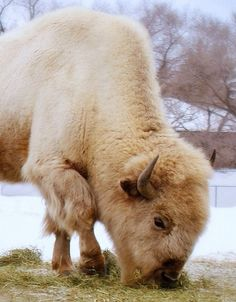 White Buffalo by Kim's Pics :) The white buffalo is held sacred by the Lakota and some other Native American nations. Animals And Pets, Baby Animals, Cute Animals, American Bison, Native American Indians, Beautiful Creatures, Animals Beautiful, Reptiles, Mammals
