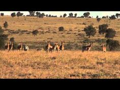 ▶ Cheetah Conservation in Kenya: Athi Kapiti Conservancy - YouTube