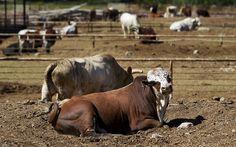 Bucking bulls.