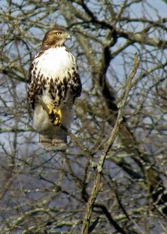 Red-tailed Hawk  from Great Backyard Bird Count by Ann Marie Halstead