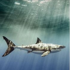 Photographer Who Survived Shark Attack Now Raises Awareness for This Threatened Species - Even After Being Attacked by Sharks, This Photographer Recognizes Their Beauty and Importance (PHOT - Shark Pictures, Shark Photos, Shark Week, Orcas, Hai Tattoos, Save The Sharks, Small Shark, Shark Art, Delphine