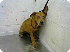 BAILEY - URGENT - Fulton County Animal Services, Atlanta, GA - ADOPT OR FOSTER - Young Female American Pit Bull Terrier Mix