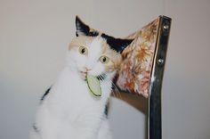 Cucumber cat.