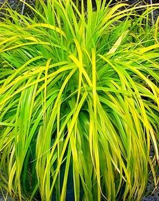 Carex glauca 39 blue zinger 39 blue sedge part to full shade for Hearty ornamental grasses