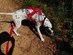 TIAGO, SLED DOG