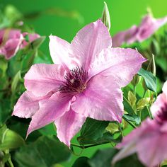 Klematis 'Pink Fantasy', 5-pack krukodlad | Wexthuset Clematis Flower, Fantasy, Pink, Garden, Flowers, Plants, Inspiration, Products, Biblical Inspiration