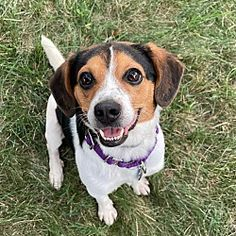 St. Louis, MO - Beagle. Meet Trigger a Pet for Adoption.