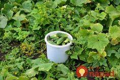 Po tomto životabudiči rastú uhorky ako divé: A nestojí to ani cent! Summer House Garden, Home And Garden, Farm Gardens, Outdoor Gardens, Organic Fertilizer, Small Farm, Edible Garden, Watering Can, Permaculture