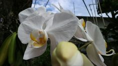 White orchid Jakarta,indonesia