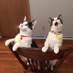 ='•..•'= BASTET : Por que é que os gatos miam muito?