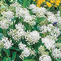 White swamp milkweed.  Ordered this from Brecks.  Put in bed with Joe Pye Weed when it arrives.