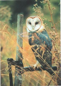 The Barn Owl (Tyto alba) is the most widely distributed species of owl, and one of the most widespread of all birds. It is also referred to as Common Barn Owl, to distinguish it from other species in the barn-owl family Tytonidae. Beautiful Owl, Animals Beautiful, Owl Bird, Pet Birds, Animals And Pets, Cute Animals, Tyto Alba, Nocturnal Birds, Owl Photos