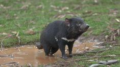 ABC News (Australian Broadcasting Corporation) Abc News, Black Bear, Devil, Flora, Animals, Animales, American Black Bear, Animaux, Plants