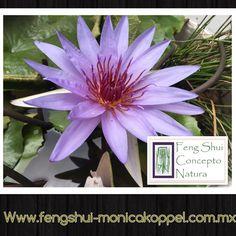 Wow!!! Enamorados del nuevo nenúfar en nuestro jardín!!! Concepto natura de GCFSMex: armonizando con plantas!!! #cursos #diseño #ambientes #plantas #asesoria ☎️ 52560199 cdMx www.fengshui-monicakoppel.com.mx