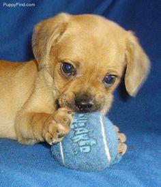 Puggle puppy :)