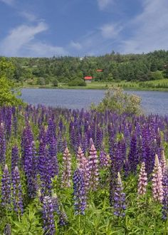 Visit Prince Edward Island ~ CANADA. Love, luv,  Anne of Green Gables movie series!!!