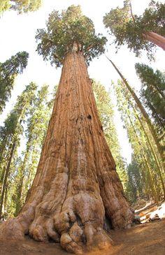 Parque Nacional das Sequoias, Califórnia, USA. O parque é conhecido por suas sequóias gigantes, incluindo a árvore general Sherman, uma das maiores do mundo. Ergue-se a 275 metros de altura e dizem ter em torno de 2.500 anos de idade.