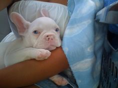 Blue Eyed French Bulldog Puppy