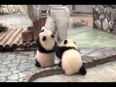 Giant panda baby -Ouhin&Touhin- - YouTube