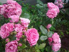 lamminpään ruusut