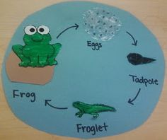 Life Cycle of a Frog   Overview  Books and an art activity will introduce students to the stages of a frog's life cycle.  Subject(s)  Scienc...