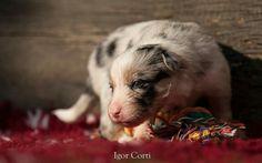 Prime uscite all'aperto per i cuccioli della nostra border collie Renè  www.igoreli.com