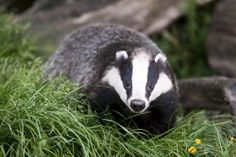 Petition: Stop Annual Badger Culling in the United Kingdom! - One Green PlanetOne Green Planet Trophy Hunting, Cavapoo, Animal Species, Isle Of Wight, Stock Foto, Badger, How To Get Rid, Ferret, Animal Photography
