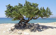 Et af de specielle træer der står på Naxos. Læs mere om Naxos her: www.apollorejser.dk/rejser/europa/graekenland/naxos