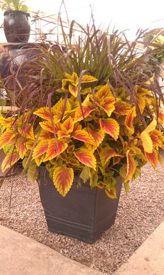 coleus adds color to any pot