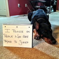 There is no shaming the Doberman--the Doberman is without shame. Wee Wee Dueweke reminds me of Sophie, except she's not a Doberman Funny Dogs, Funny Animals, Cute Animals, I Love Dogs, Puppy Love, Doberman Love, Doberman Funny, Pet Camera, Dog Shaming