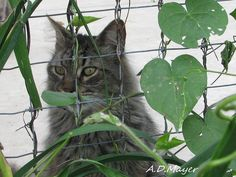 Bear peering through the outdoor area of the cat barn. Bear is available for adoption! #cats #animalrescue