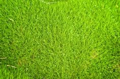 Are you looking for a hardy, droughtresistant lawn that requires little or no maintenance? Then perhaps you would like to try growing Zoysia grass rather than traditional lawn grass. Read here for more info. Zoysia Grass Seed, Grass Texture Seamless, Green Outdoor Rug, Outdoor Rugs, Outdoor Spaces, Different Types Of Grass, Bermuda Grass, Grass Background, Grass Type