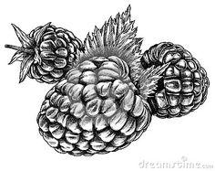 Digital Drawing Of Blackberry Plants Blackberries Clip