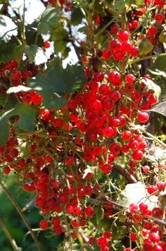 to Grow a Red Currant Bush Information on Growing Currant Bushes Growing Fruit, Garden Planning, Indoor Gardens, Currants, Fruit Garden, Bush Plant, Currant Bush, Plants, Growing Tree