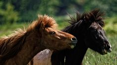""" Yearlings having a conversation "" - Two yearling Icelandic horses having a conversation in the field."