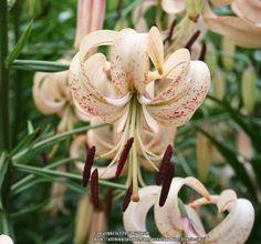 Martagon Lily 'Ariadne'