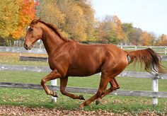Image detail for -Training a Thoroughbred Thouroughbred Horse, Horse Stables, Horse Love, Warmblood Horses, Thoroughbred, Horse Photos, Horse Pictures, Different Horse Breeds, Chestnut Mare