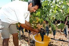 Hatziemmanouil vineyards. #Kos Kos, Wines, Vineyard, Greece, Greece Country, Vine Yard, Vineyard Vines, Aries, Blackbird