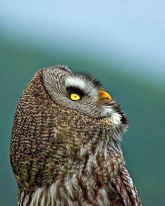 Great Gray Owl by Dieter Schaefer www.facebook.com/th3cuteanimals