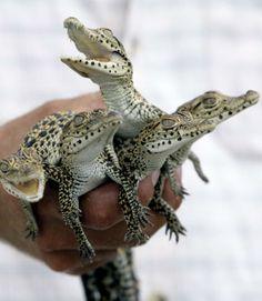 Tiny crocodiles. Love crocs!  Pretty sure they are alligators, but still cute.,