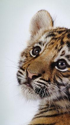 https://flic.kr/p/nynrVA | tiger_baby_face_cute_2722_640x1136