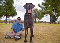 Giant George The Worlds Largest Dog With One Of His Humaniods - 10 of the worlds biggest pets