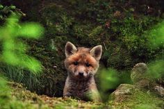 Young redfox