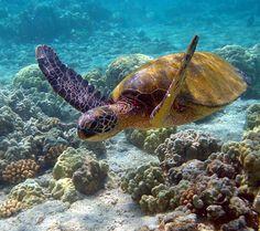 Sea turtles! My favorite aquatic animal.